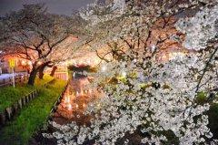 日本各地迎赏樱高峰 繁花似锦(组图)