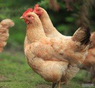 搞笑段子:两只母鸡在聊天